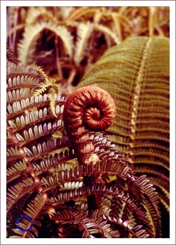 G04-4 Curled Fern, 1972
