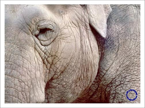 G16-6 Elephant, 1973