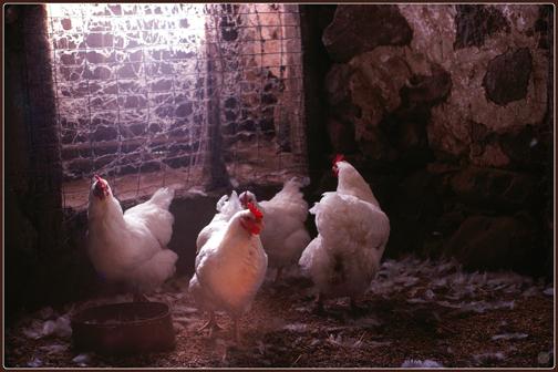 G11-5 Hens, 1979
