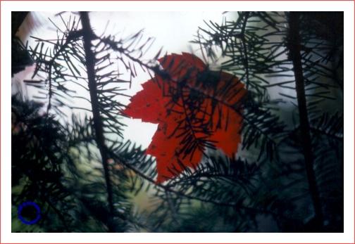 G14-6 Leaf in Fir, 1979