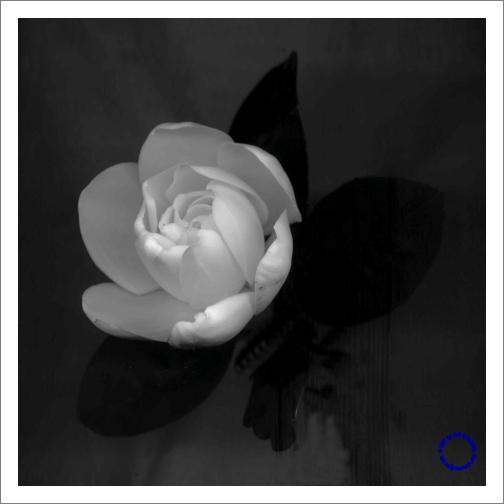 G26-5 Gardenia #2 (B/W), 2004
