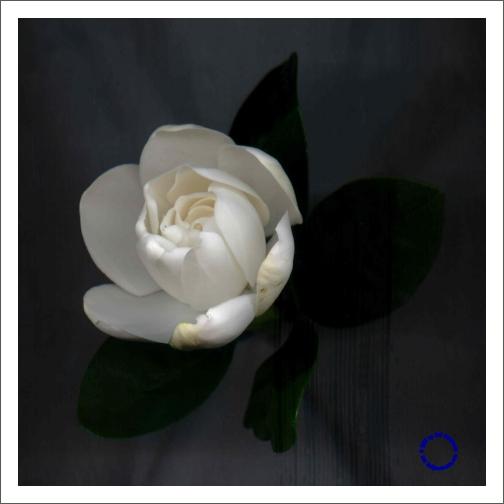 G26-3 Gardenia #2, 2004