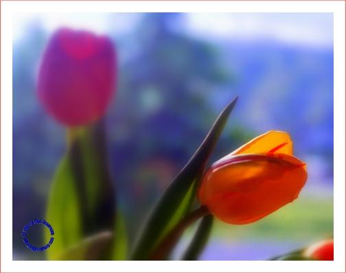 G26-6 Tulips, 2004