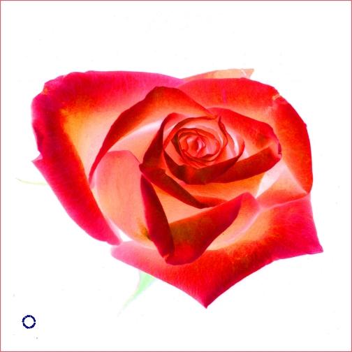 G02-5 Rose #6 (Neg., Red), 2005