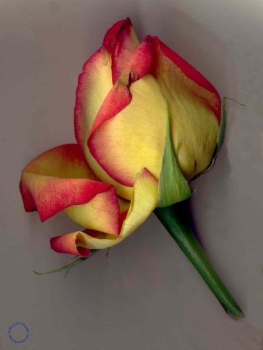G02-1 Rose #7 (Close), 2005
